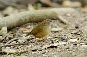image of babbler  - beautiful Abbott - JPG