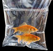 Cute pair of fish