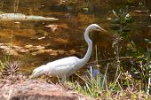 Great White Heron Profile In Pond
