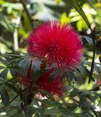 Red Haemanthus Multiflorus (tratt.)