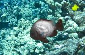 picture of hawkfish  - Arc-eye hawkfish on a Hawaiian Reef in Kona