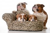bulldog family - two puppies sleeping on a couch with father and grandfather behind them