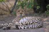Cheetah (Acinonyx Jubatus) lying on sand