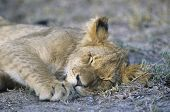 Lion sleeping on savannah close-up
