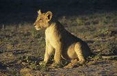 Lion sitting on savannah