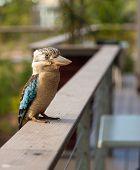 stock photo of kookaburra  - A beautiful Australian kookaburra bird is relaxing on a balcony fence quietly. ** Note: Shallow depth of field - JPG