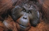 Male Orangutan resting close-up