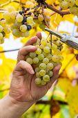 Farmer Harvest White Grapes