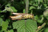 Grasshopper female