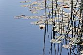 Lilly pads with reeds in lake early morning