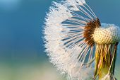 Dandelion Loosing Seeds With Rays Of Sunlight. Outdoors Closeup.