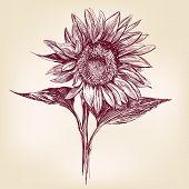 sunflower hand drawn vector llustration realistic sketch