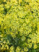 Above View Of Yellow Flowers On Blossoming Dill