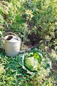 stock photo of water cabbage  - handshower and cabbage in garden in summer day - JPG