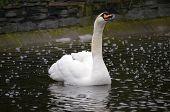 Beautiful swan swimming