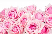 border of  pink garden roses