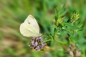 Small Cabbage White On Purple Flower