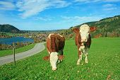 Two White And Brown Brindled Dairy Cows In Bavarian Landscape