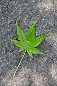 Green maple leaf falling on stone background