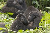 picture of gorilla  - Mother and Child Gorilla in the Bwindi Impenetrable Forest - JPG