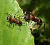 Two Ants Meet On Green Leaf