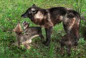 Grey Wolf Pups (canis Lupus) Beg Mother