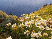 Marguerites At Idyllic Mullion Coast, South England