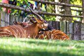 Bongo Taurotragus Euryceros Isaaci Antilope