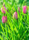 Green Grass On A Background Of Pink Tulips