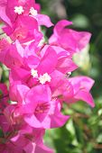 Purple Bougainvillea Flowers.