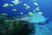 Sodwana Bay, Indian Ocean, South Africa, Sand tiger shark (carcharias taurus) and golden trevally (g