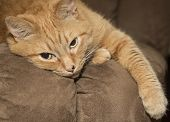 Lazy ginger cat resting on brown couch