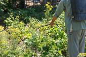 pic of pesticide  - worker sprays pesticide on potato plantation in garden in summer - JPG