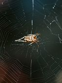 European Garden Spider On Spiderweb Close Up