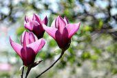 Three flowers of magnolia