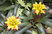 picture of bromeliad  - Flowering bromeliad plants with yellow flower in garden - JPG