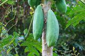 stock photo of papaya  - close up papaya fruit on the tree - JPG
