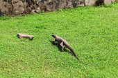 Bengal monitor lizard on the grass