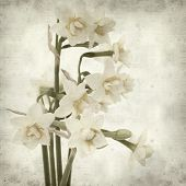 picture of narcissi  - textured old paper background with doule narcissi