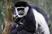 Mother and Child Colobus Monkeys