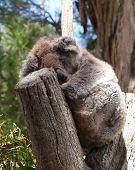 picture of fondling  - Koala  - JPG