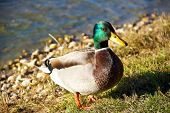 image of male mallard  - Male mallard duck standing on a bank of the river - JPG
