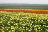 image of yellow rose  - Carpet Of  Mixed Roses at Open Field - JPG