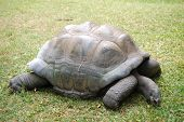 Giant land turtle