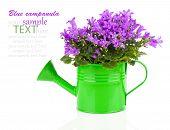 Blue Campanula Flower In A Green Water-pot