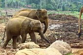 stock photo of indian elephant  - Indian elephants in elephant nursery - JPG