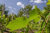 Growing Bio Grapes In The Northern Bulgaria In The Summer