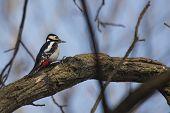 foto of woodpecker  - Great Spotted Woodpecker  - JPG