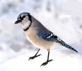 foto of blue jay  - Closeup of a blue jay standing on the snow - JPG