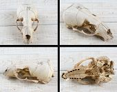 Sea Lion skull on white, wood table four different views.